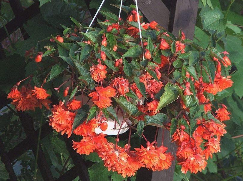 Бегония ампельная (Begonia tuberhybrida pendula) фото