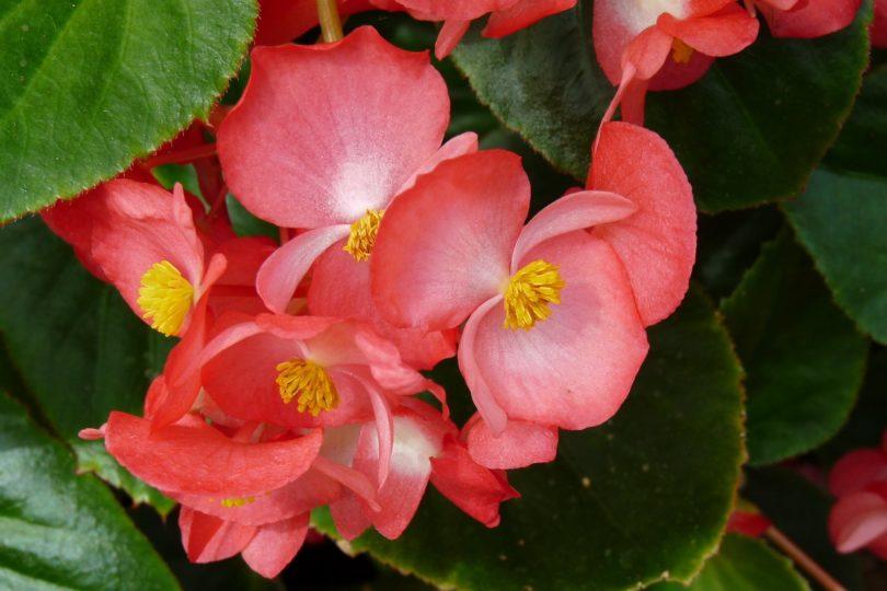Цветок бегония комнатная как ухаживать в домашних условиях