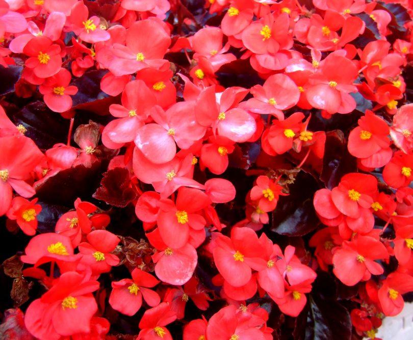 Бегония вечноцветущая (Begonia semperflorens) фото