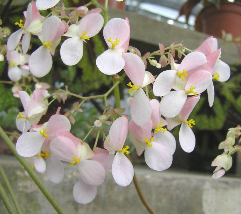 Бегония тигровая (Begonia bowerae) или бегония бауэра фото