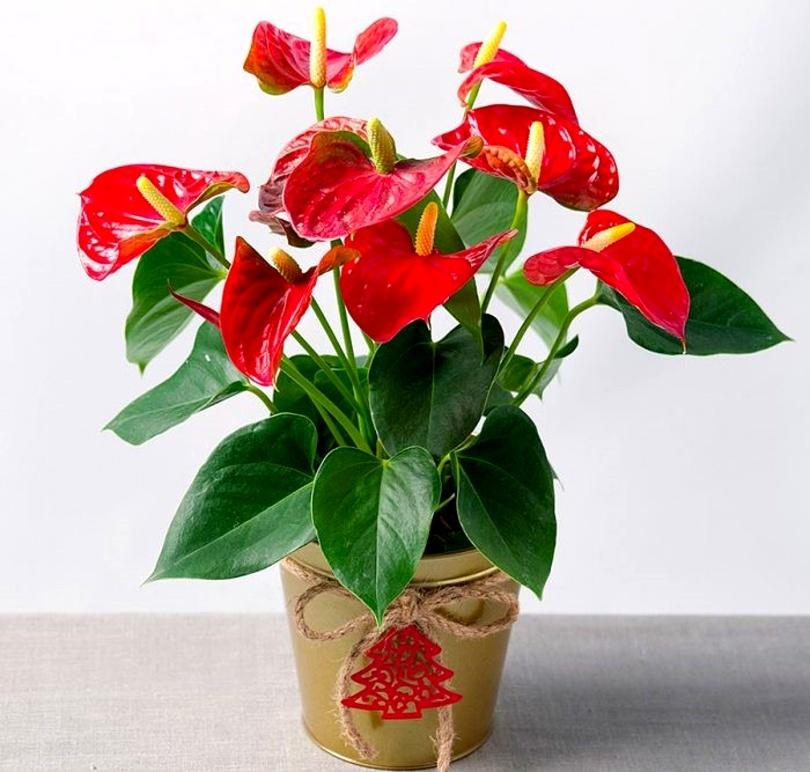 Антуриум Андре (Anthurium andreanum) фото