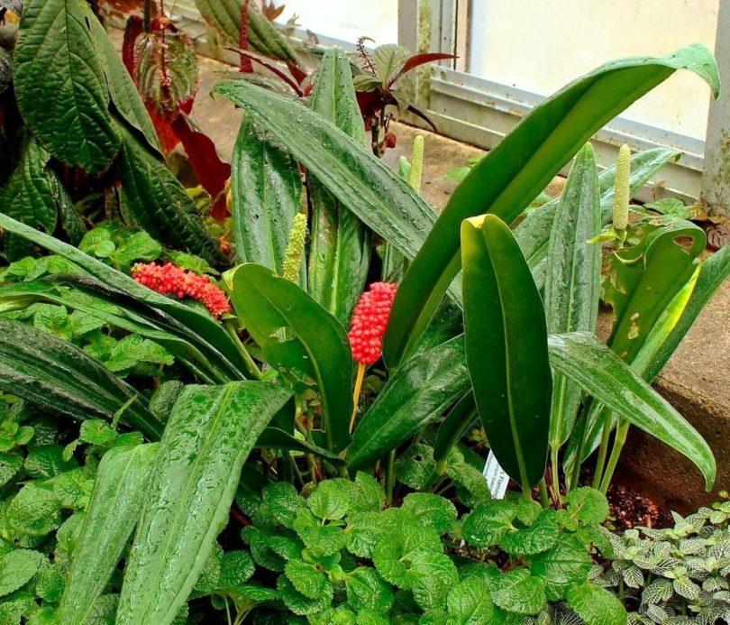 Антуриум Бейкера (Anthurium bakeri) фото