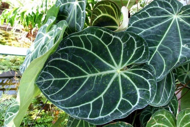 Антуриум величественный (Anthurium magnificum) фото