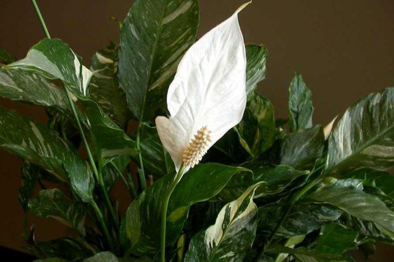 Спатифиллум геликониелистный (Spathiphyllum heliconiifolium) фото