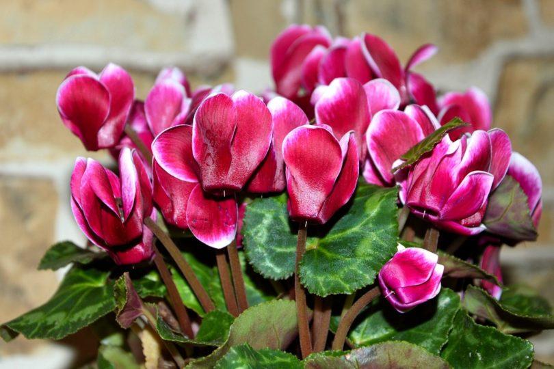 Цикламен комнатный - выращивание и уход в домашних условиях, фото цветов