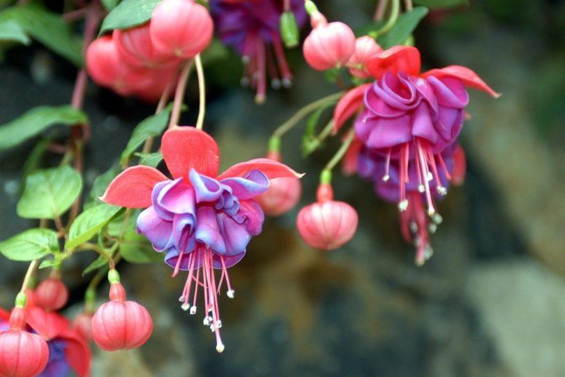 Фуксия - сорта, размножение, выращивание и уход в домашних условиях