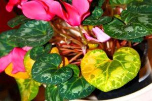 Возможные проблемы при выращивании цикламена