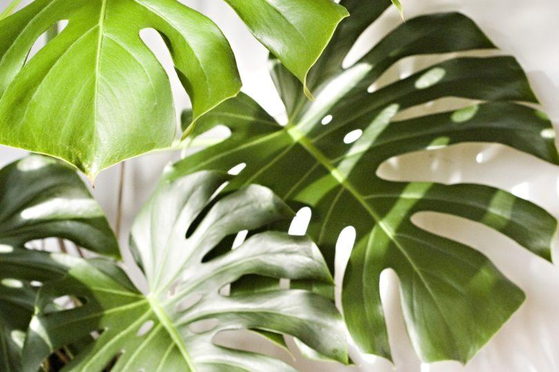 Монстера – цветок с интересной, необычной, причудливой формой