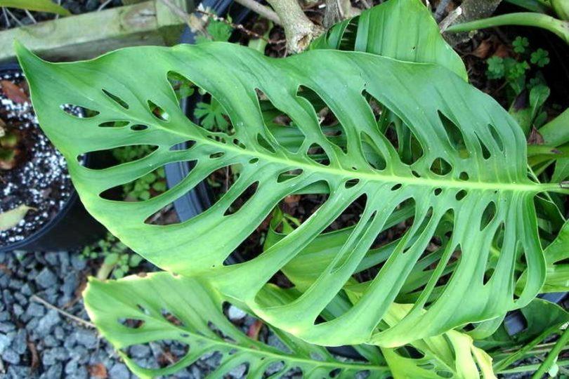 Монстера пробитая или дырявая (monstera pertusa) фото