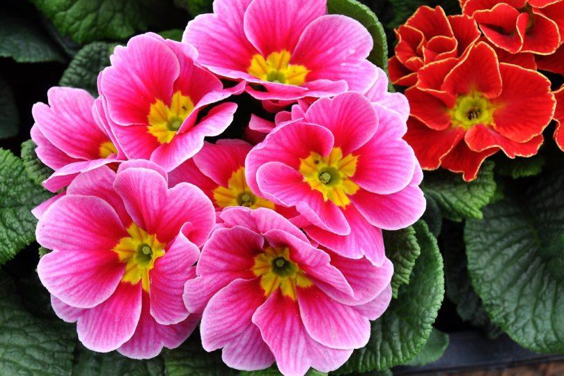 Примула цветок виды, описание с фото, как ухаживать дома