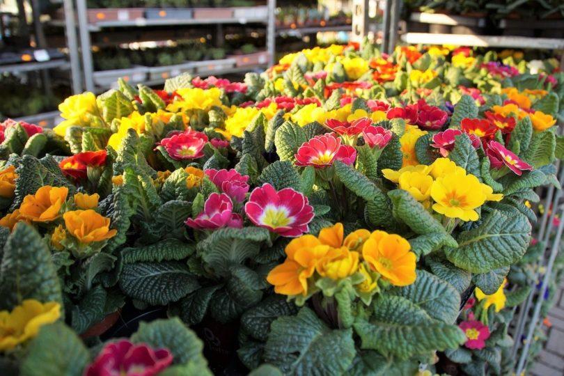 Многие примулы зацветают ранней весной