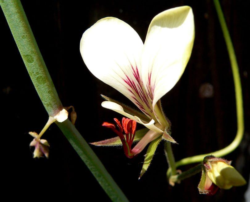 Пеларгония четырехугольная (Pelargonium tetragonum) фото