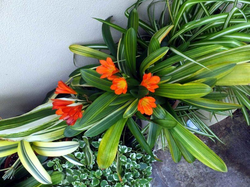 Кливия вариегатная (Clivia variegated) фото