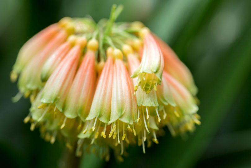 Кливия прекрасная (Clivia nobilis) фото