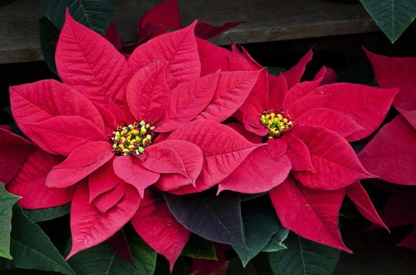 Пуансеттия она же рождественская звезда или молочай красивейший