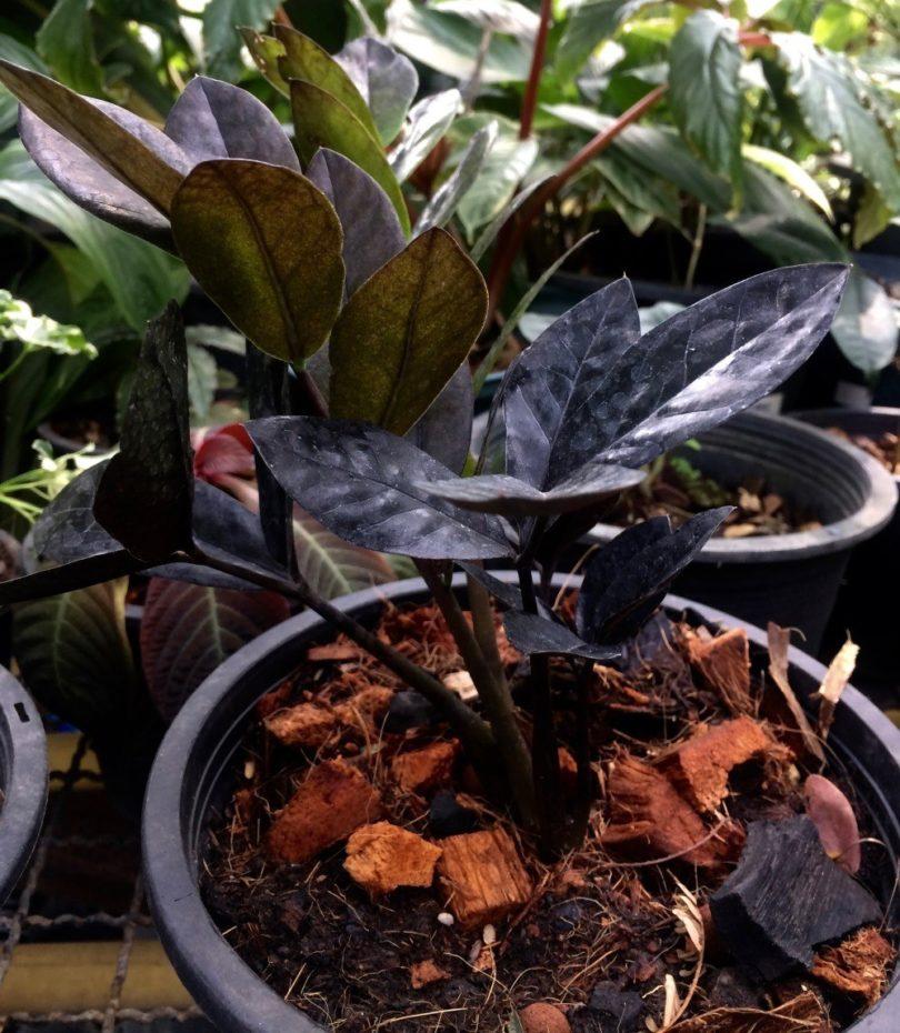 Замиокулькас Темно-пурпурный (Black Leave) фото