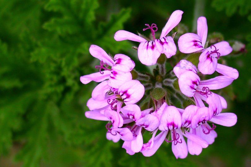 Пеларгония ароматная (Pelargonium graveolens) фото