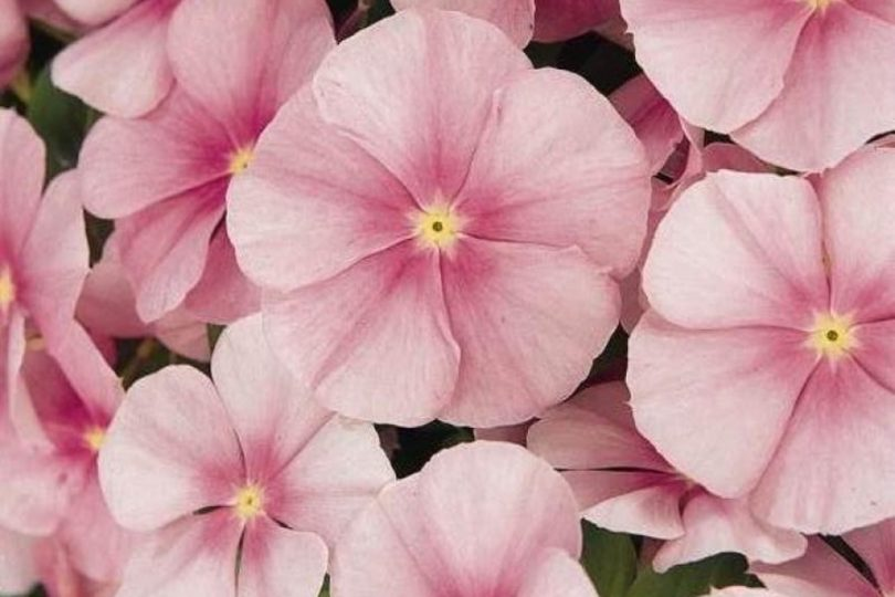 Катарантус Розовый лед фото