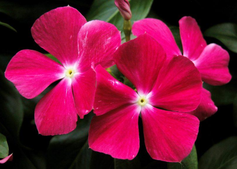 Цветок катарантус как ухаживать дома фото