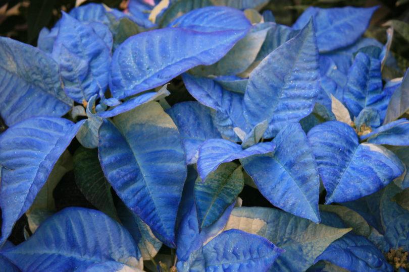 Blue poinsettia фото