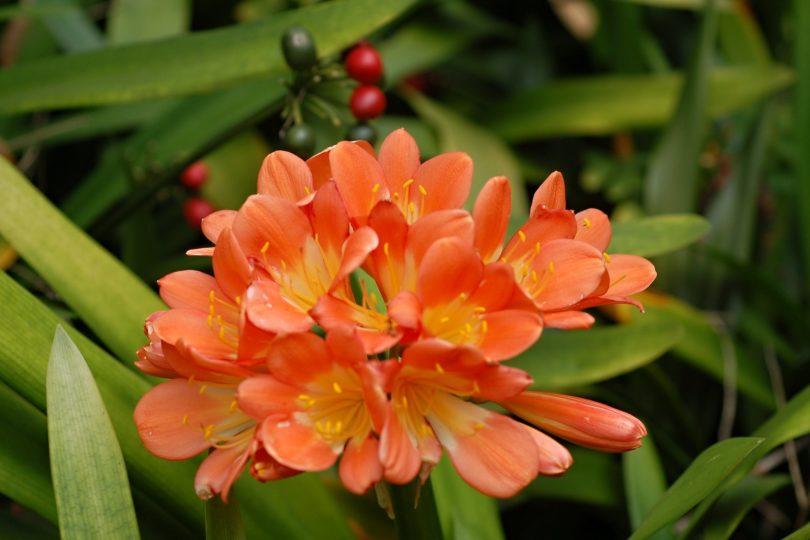 Кливия киноварная (Clivia miniata) фото