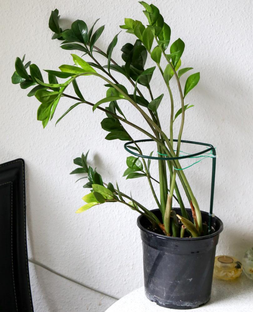Замиокулькас замиелистный (Zamioculcas zamiifolia) фото