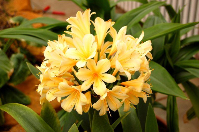 Кливия цитрина (Clivia miniata var. Citrina) фото