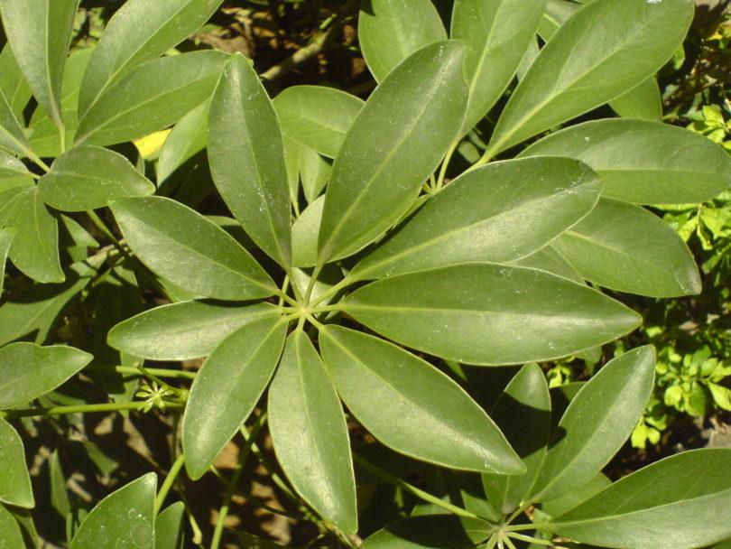 Шеффлера древовидная (Schefflera arboricol) фото