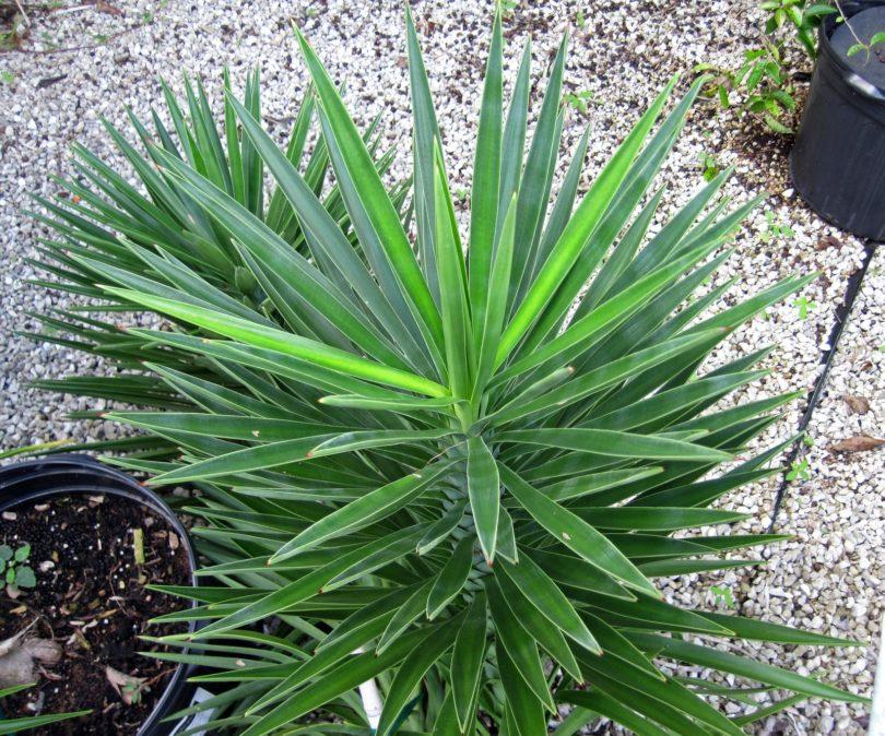 Юкка алоэлистная yucca aloifolia фото