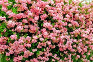Цветение пеларгонии фото