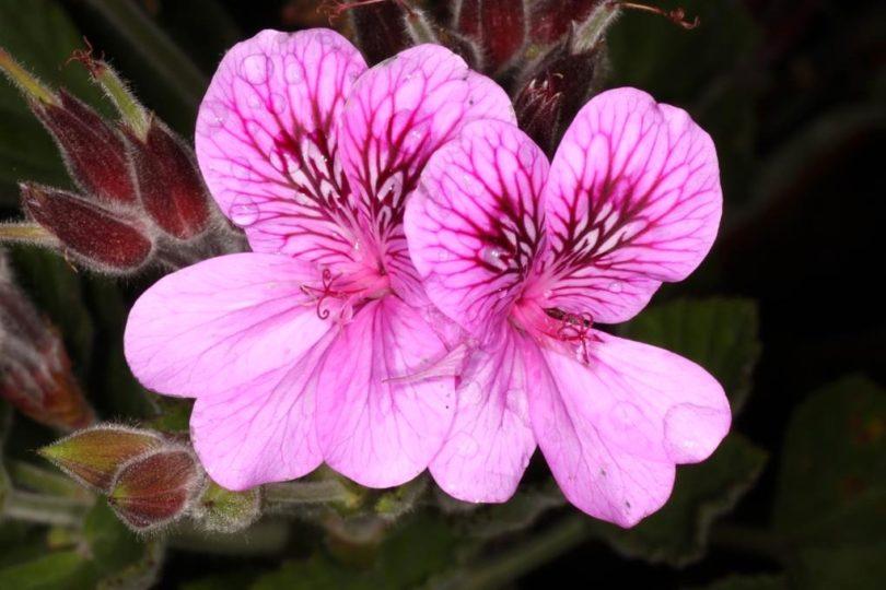 Пеларгония клобучковая (Pelargonium cucullatum) фото