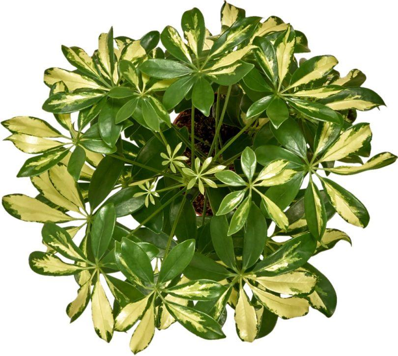 Шеффлера Герда (Schefflera arboricola Gerda) фото