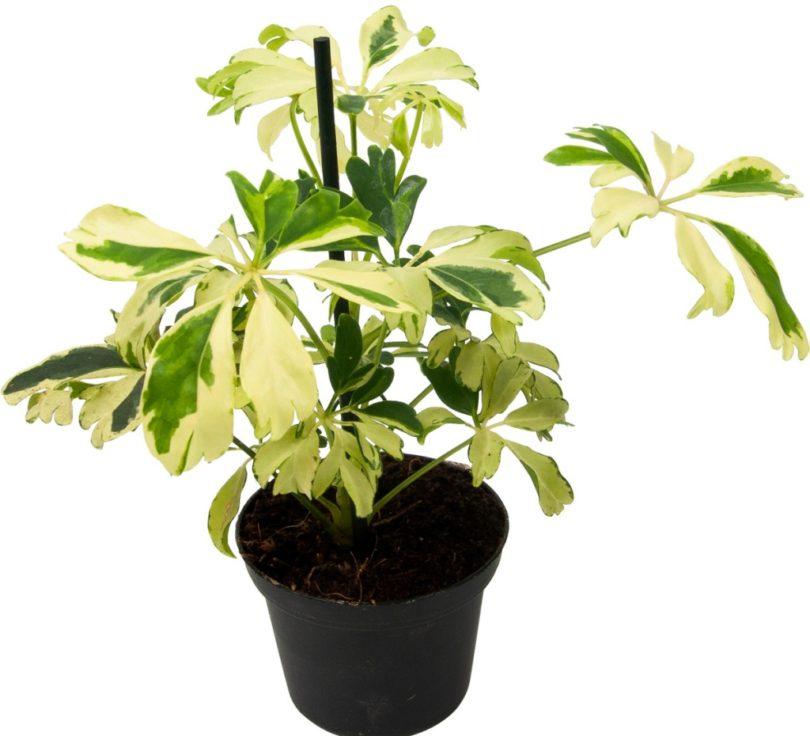 Жанин (Schefflera arboricola Janine) фото