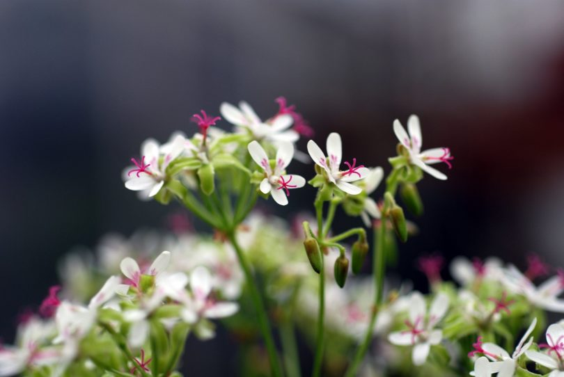 Пеларгония пушистолистная (Pelargonium crithmifolium) фото