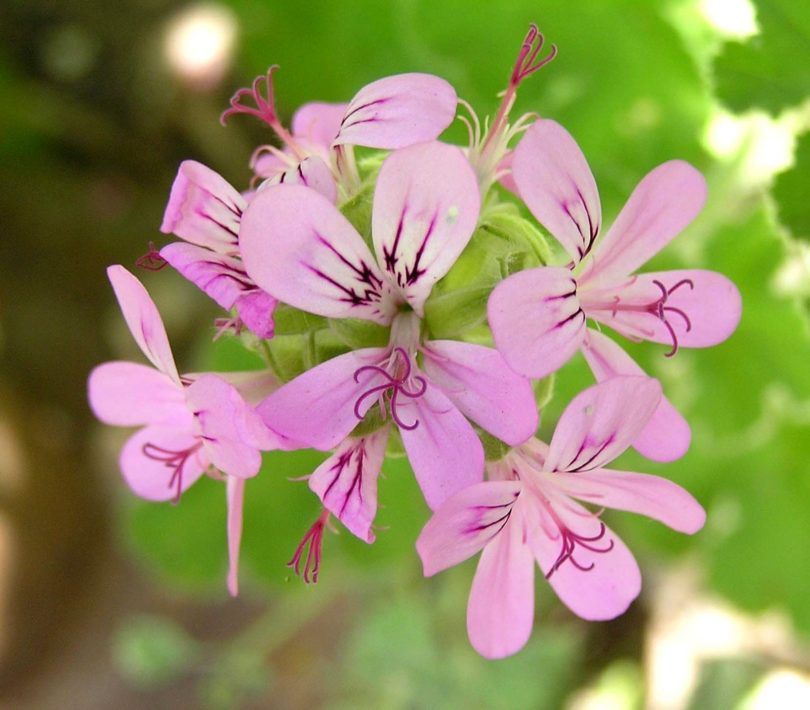 Пеларгония головчатая (Pelargonium capitatum) фото