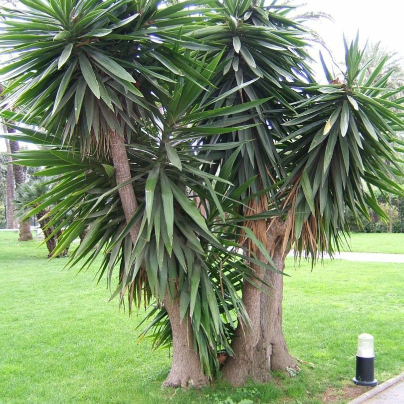 Юкка южная yucca australis фото