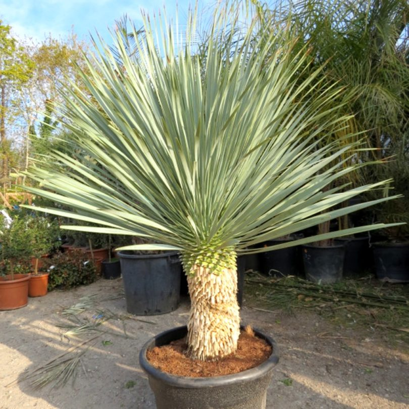 Юкка клювовидная yucca rostrata фото