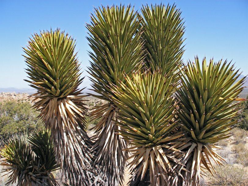 Юкка коротколистная yucca brevifolia фото