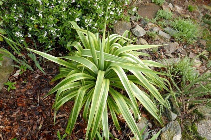 Юкка отвороченнолистная yucca recurvifolia фото