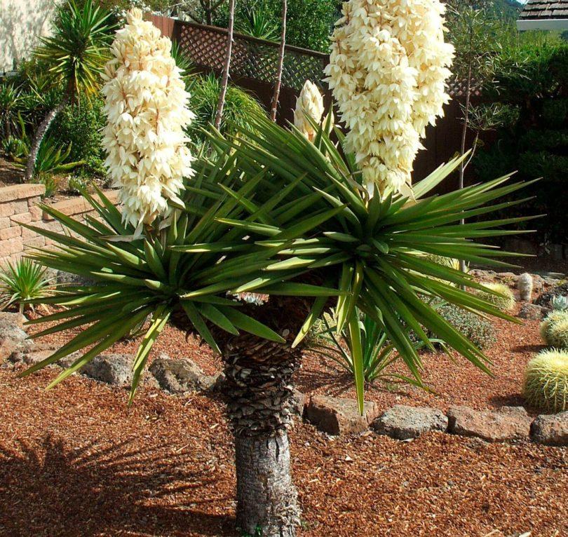 Юкка трекуля yucca treculeana фото