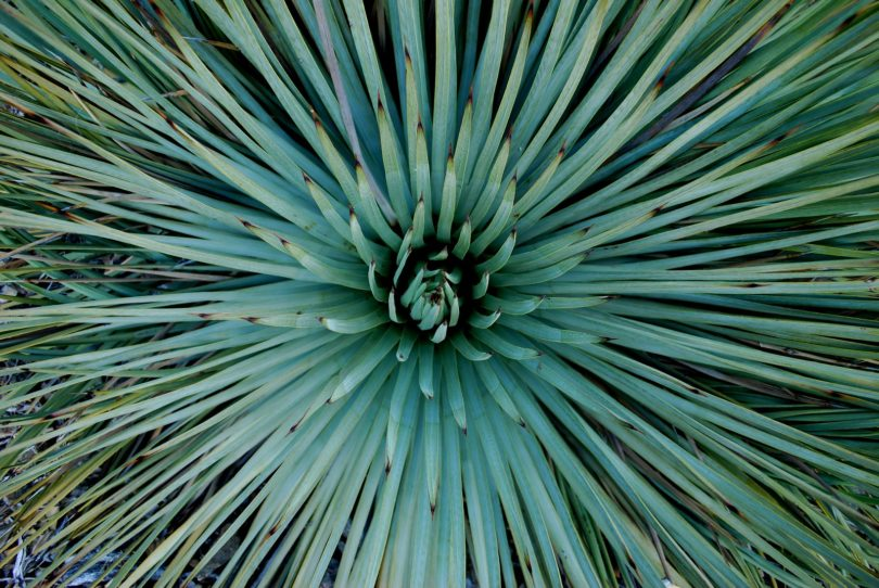 Юкка виппла yucca whipplei фото