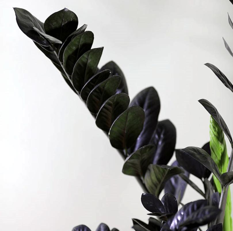 Черный замиокулькас (Zamioculcas black) фото