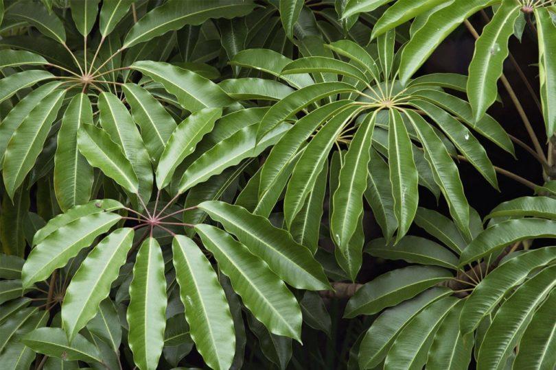 Пальчатая (Schefflera digitata) фото