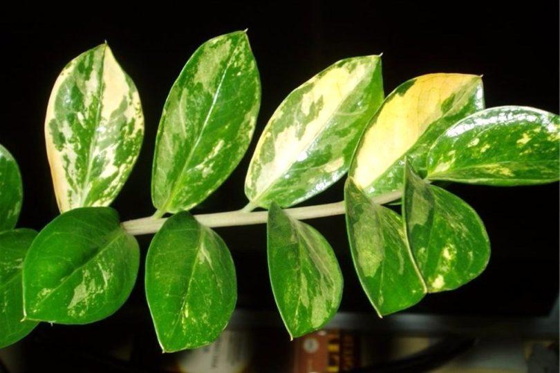 Замиокулькас пестрый (Lemon variegated) фото