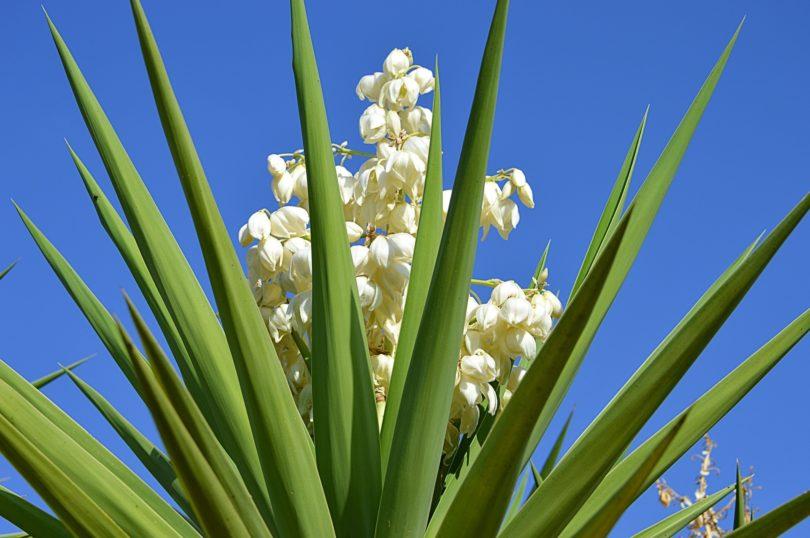 Юкка цветок как ухаживать в саду, дома, размножение