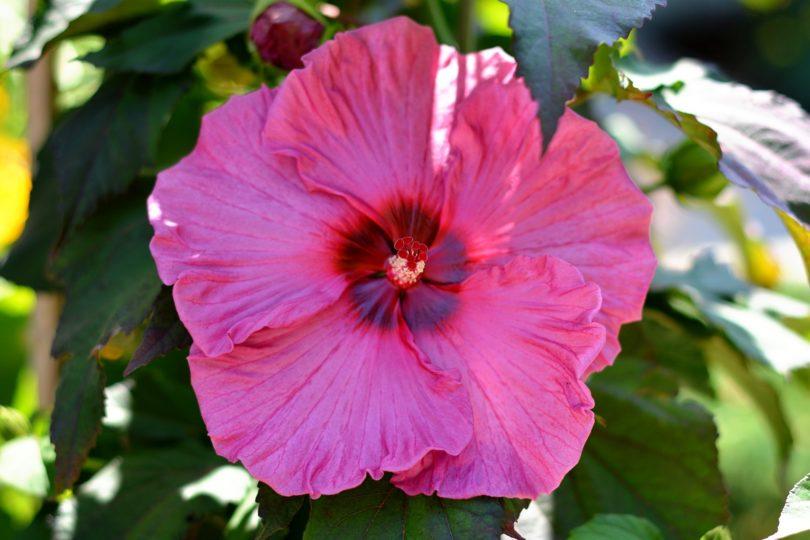 Гибискус гибридный (Hibiscus hybridus) фото
