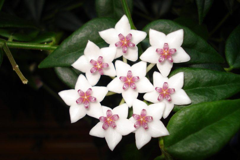Цветок хойя или восковой плющ: описание с фото, как ухаживать