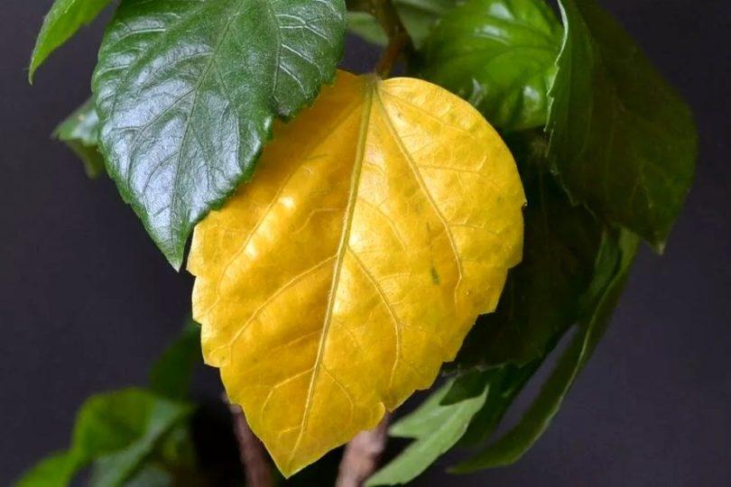 Почему желтеют листья у гибискуса фото