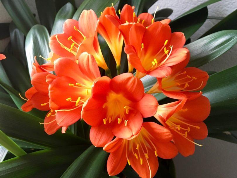 Кливия комнатный цветок