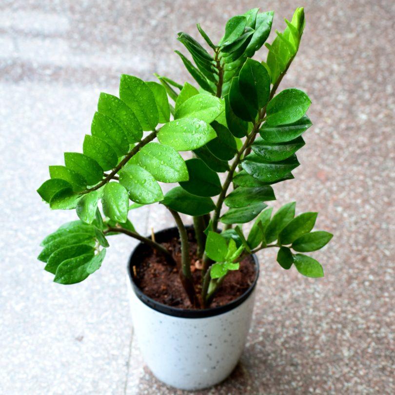 Zamioculcas долларовое дерево уход в домашних условиях фото